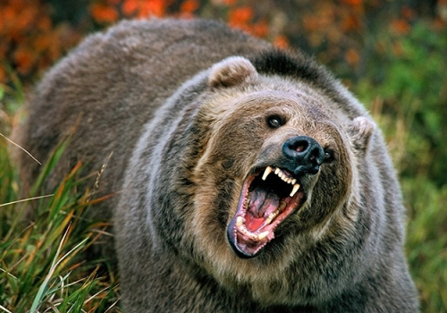 Man Attacked by Bear Twice, and LIVES!
